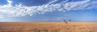 Giraffe standing in grassy plain in the Maasai Mara Game Res