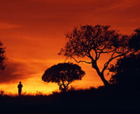 Silhouette of walker standing next to acacia tree at sunset