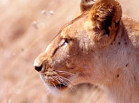 Lioness staring intently at passing gazelle,Close Up