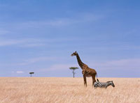 Giraffe standing in dry grass on the plains of the Masai Mar