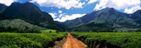 Looking down track in a tea estate towards Mt Mulanje