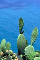 Cactus on coastline