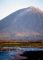 Flamingoes feeding in river with Ol Donyo Lengai volcano in