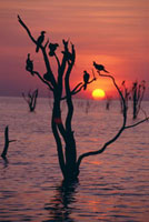 Birds on tree,Lake Kariba at sunset