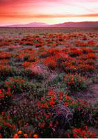 California Poppies Antelope Valley
