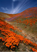 California Poppies and Wildflowers Antelope Valley
