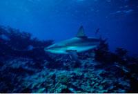 Underwater View of Bull Shark Grand Cayman Island British We