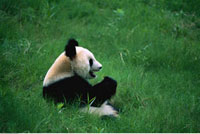 Giant Panda Bear Sitting in Field China