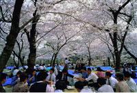Cherry Blossoms Osaka Castle Park Osaka