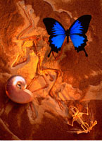 Ulysses Swallowtail Butterfly Nautilus Shell