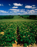Potato Field Sainte Anne