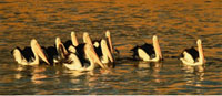Australian Pelicans in Water South Australia