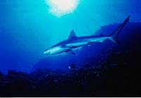 Underwater View of Silky Shark Islas San Benedicto Socorro I