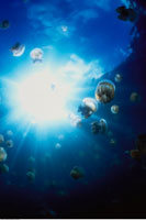Underwater View of Jellyfish in Jellyfish Lake The Rock Isla