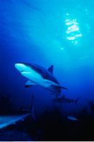 Underwater View of Caribbean Reef Sharks New Providence Isla