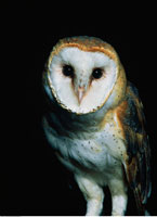 Portrait of Barn Owl