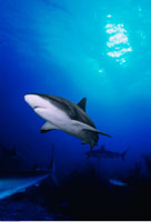 Underwater View of Caribbean Reef Sharks New Providence Isla
