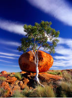 Gum Tree and Devil's Marbles Northern Territory