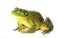 Frog 20025049693| 写真素材・ストックフォト・画像・イラスト素材|アマナイメージズ