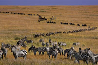 Zebra and Wildebeest Migrating Maasai Mara Game Reserve Keny