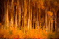 Aspen Trees in Autumn Yukon Territory