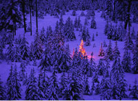 Christmas Tree in Forest in Winter