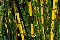 Bamboo Akaka Falls State Park Hawaii