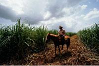 Portrait of Sugar Cane Farmer on Horse in Field Cuba