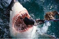 Feeding Great White Shark Hermanus