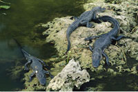 Alligators Everglades National Park Florida