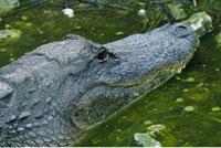 Alligator Everglades National Park Florida