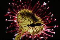 Mosquito on Sundew 20025070995| 写真素材・ストックフォト・画像・イラスト素材|アマナイメージズ