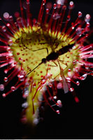 Mosquito on Sundew 20025071010| 写真素材・ストックフォト・画像・イラスト素材|アマナイメージズ