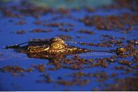 Crocodile Kakadu National Park