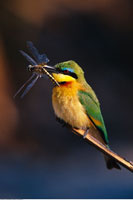 Little Bee-Eater Kwetsani