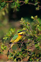 Little Bee-Eater Duma Tau