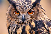European Eagle Owl Ottawa