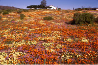 Spring Time Namaqualand South Africa