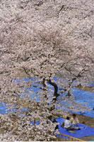 Cherry Blossoms Osaka