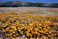 Wildflowers Namaqualand South Africa