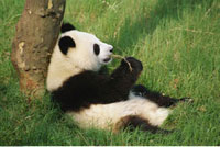 Panda Sitting in Grass