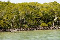 Mangrove Trees Mangrove Island Florida 20025122642| 写真素材・ストックフォト・画像・イラスト素材|アマナイメージズ