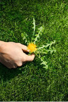 Hand Picking Dandelion Weed