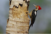 Lineated Woodpecker at Nest