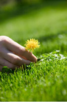 Hand Picking a Dandelion