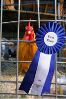 Blue Ribbon Winning Rooster At Fair