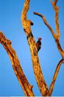 Woodpecker Perched on Dead Tree