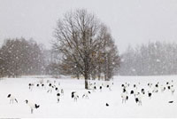 Red Crowned Cranes in Winter