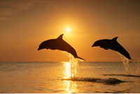 Dolphins Jumping Out of Water at Sunset  20025163777| 写真素材・ストックフォト・画像・イラスト素材|アマナイメージズ