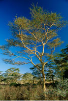 Acacias Tree in Savanna